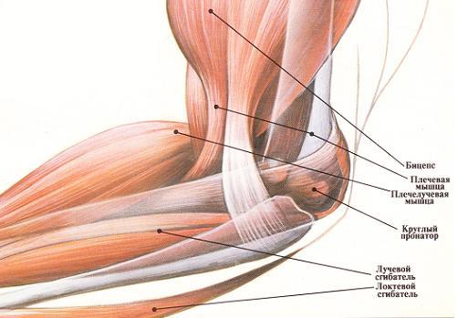 Анатомия бицепса 2