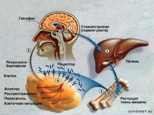 Влияние факторов на гормон роста