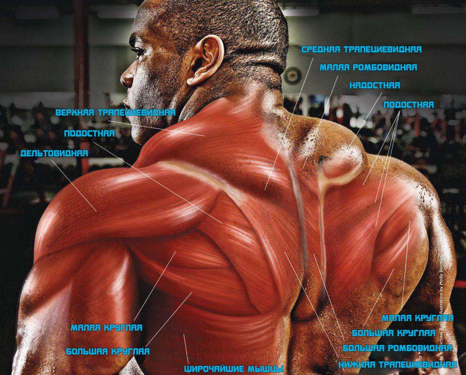 Анатомия-мышц-спины