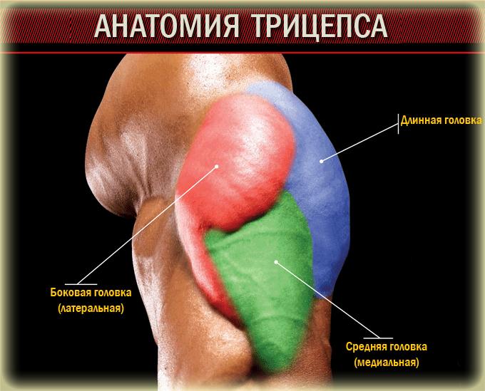 Анатомия-трицепса