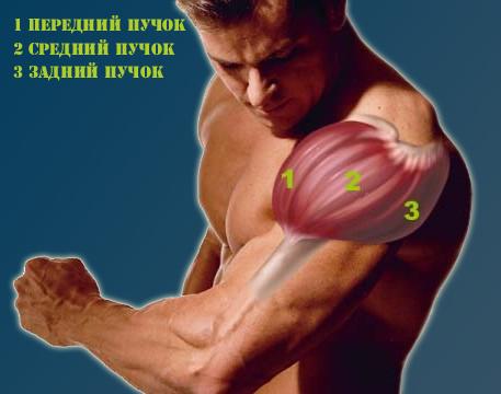 Краткая-анатомия-плеча