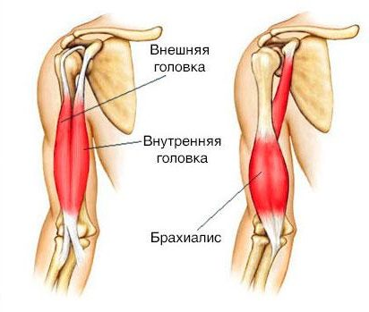 biceps-anatomiya