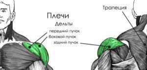 анатомия плечи