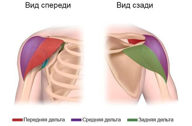 дельты анатомия