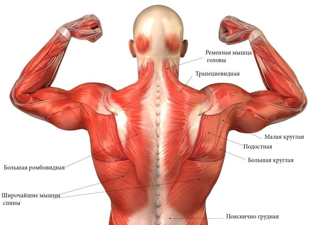 мышцы спины анатомия