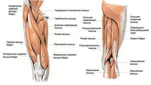 мышцы ног анатомия
