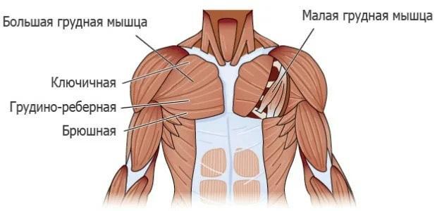пучки грудных