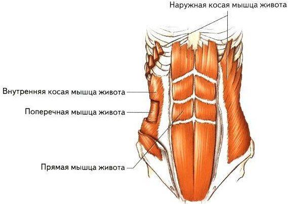 поперечная мышца