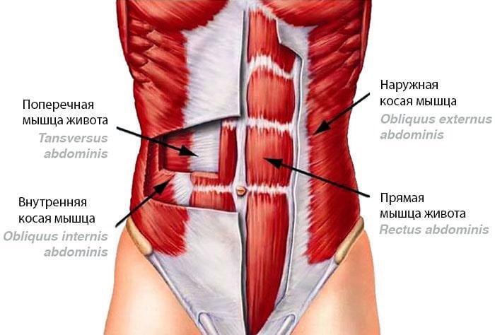 мышцы пресса анатомия